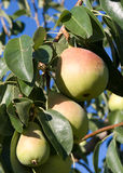 Group ripe pears Stock Photo