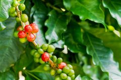 Coffee berries on its tree. Group of ripe and raw coffee berries on coffee tree branch Royalty Free Stock Image