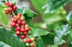 Coffee berries on its tree. Group of ripe and raw coffee berries on coffee tree branch Stock Photos