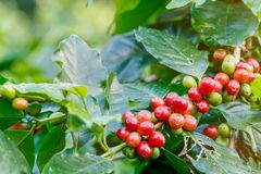 Coffee berries on its tree. Group of ripe and raw coffee berries on coffee tree branch Stock Photography