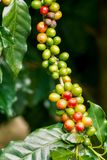 Coffee berries on its tree. Group of ripe and raw coffee berries on coffee tree branch Royalty Free Stock Photos
