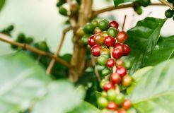 Coffee berries on its tree. Group of ripe and raw coffee berries on coffee tree branch Royalty Free Stock Photography