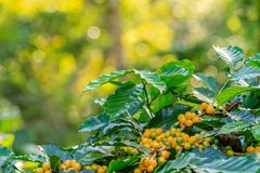 Coffee berries on its tree. Group of ripe and raw yellow coffee berries on coffee tree branch Stock Images