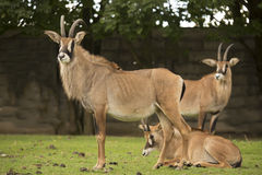 Group Roan antelope, Hippotragus equinus Stock Image