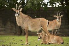 Group Roan antelope, Hippotragus equinus Stock Image