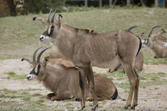 Group Roan antelope, Hippotragus equinus. One Group Roan antelope, Hippotragus equinus Stock Photo