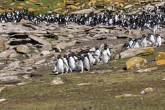 Group of rockhopper penguins runs from their colony towards the sea on Saunders Island, Falkland Islands