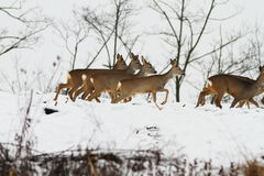 Group of roe deer Royalty Free Stock Photography