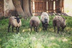 Group of Romanovian sheep on green glade Stock Photos