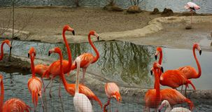 Group of flamingos at the zoo stock photos