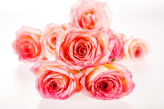 Group of rose isolated on white background Stock Images