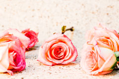 Group of rose isolated on white background Stock Photos