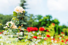 Group of roses Royalty Free Stock Photo