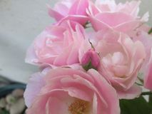 A cluster of pink roses. Stock Photography