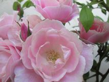 A cluster of pink roses. Royalty Free Stock Image
