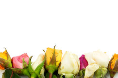 Group of roses Stock Photography