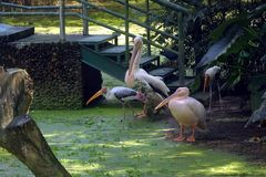 Group of rossy pelicans in Indian zoological park. Group of rosy pelicans in zoological park, india stock photo