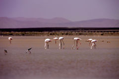Group Rosy Flamingo, Phoenicopterus ruber roseus, in a lagoon in the Sahara, Morocco Stock Photography
