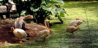 Rosy Pelicans in zoological park, India -7. Group of rosy pelicans relaxing on the corner of lake in the zoological park in India royalty free stock images