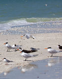 Royal Terns at Barefoot Beach Royalty Free Stock Images
