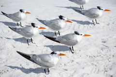 Group of royal terns sea birds stand on sandy Siesta Key beach in Florida Stock Image
