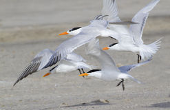 A group of royal terns (Sterna maxima) Royalty Free Stock Images
