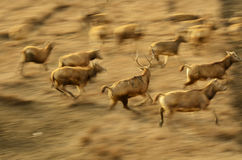 A group of running Elk in elk refuge at Dafeng coastal beach,China. Royalty Free Stock Photos