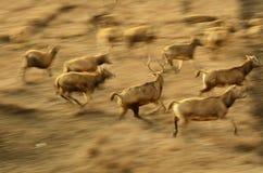 A group of running Elk in elk refuge at Dafeng coastal beach,China. A group of running Elk in elk refuge at Dafeng coastal beach Royalty Free Stock Photos