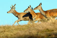 Group of running red deers Royalty Free Stock Photos