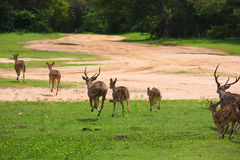 A group of running spotted deer in YALA national park. In YALA national park,a pack of spotted deer were running from tourist stock photos