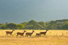 Group of running young deer on a background of green shrouds at Royalty Free Stock Photo