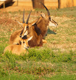 Group of Sable antelope. Group of three Sable antelope lying down with a youngster in the foreground Stock Photos