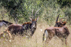 Group of Sable antelopes in Hwange. Group of Sable antelopes in the high grass in Hwange National Park, Zimbabwe Royalty Free Stock Image
