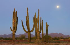 Group of Saguaro Cactus in the moonlight stock photography
