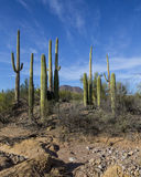 Group of saguaros Stock Photo