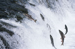 Group of Salmon jumping upstream in river Stock Image