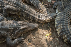 Group of saltwater crocodiles Stock Image