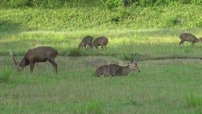 Group Sambar deer grazing grass. stock footage