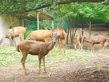 A Group of Sambar Deer. This is a photograph of a group of sambar deer, also known as rusa unicolor Stock Photo