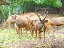 A Group of Sambar Deer. This is a photograph of a group of sambar deer, also known as rusa unicolor Stock Photography