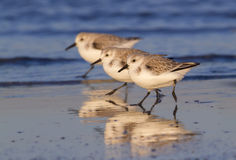 A group of sanderlings (Calidris alba) in winter plumage running on the ocean coast at sunset Royalty Free Stock Photography