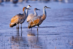Group of Sandhill Cranes Royalty Free Stock Images