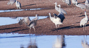 A Group of Sandhill Cranes by a Pond Royalty Free Stock Images