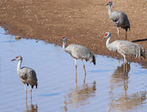 A Group of Sandhill Cranes at a Pond Stock Photo