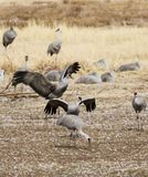 A Group of Sandhill Cranes at Whitewater Draw Wildlife Area Royalty Free Stock Photos