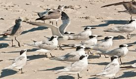 Group of Sandwich terns facing a blustering wind on a tropical beach. Group of Sandwich terns, seabirds facing into a blustering wind for protection from Stock Image