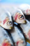 Group of sardines on lemon slices Stock Images