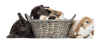 Group of Satin Mini Lop rabbits in a wicker basket, isolated Royalty Free Stock Images