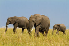 A group of savanna elephants Stock Image