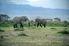 A group of savanna elephants with their babies. A group of savanna elephants with their babies is stay on the savanna at Masai Mara, Kenya Royalty Free Stock Images